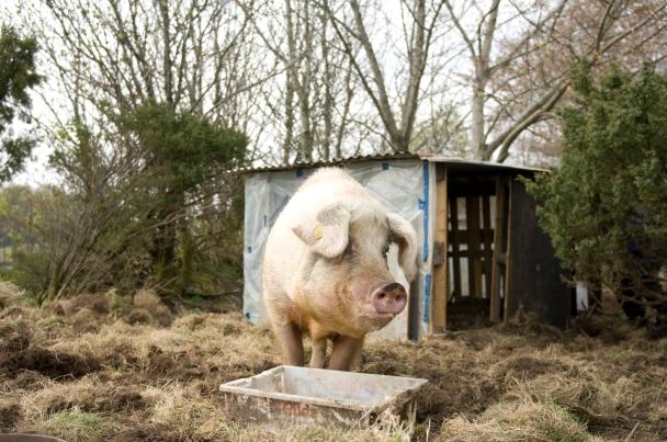 gammelnorsk svin